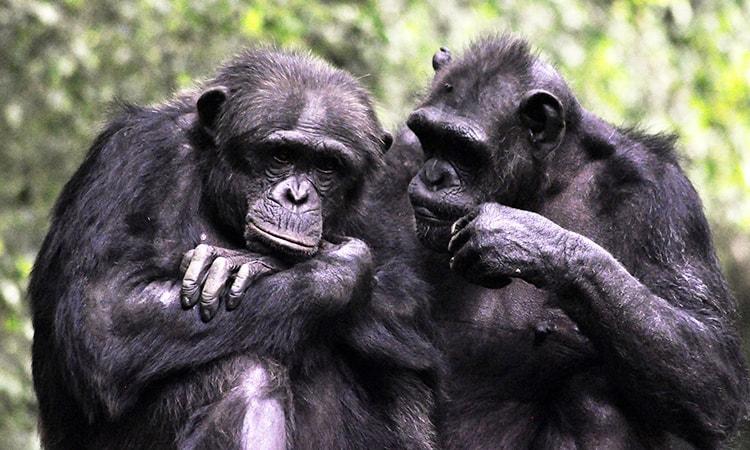 chimpanzés Jordan Peterson