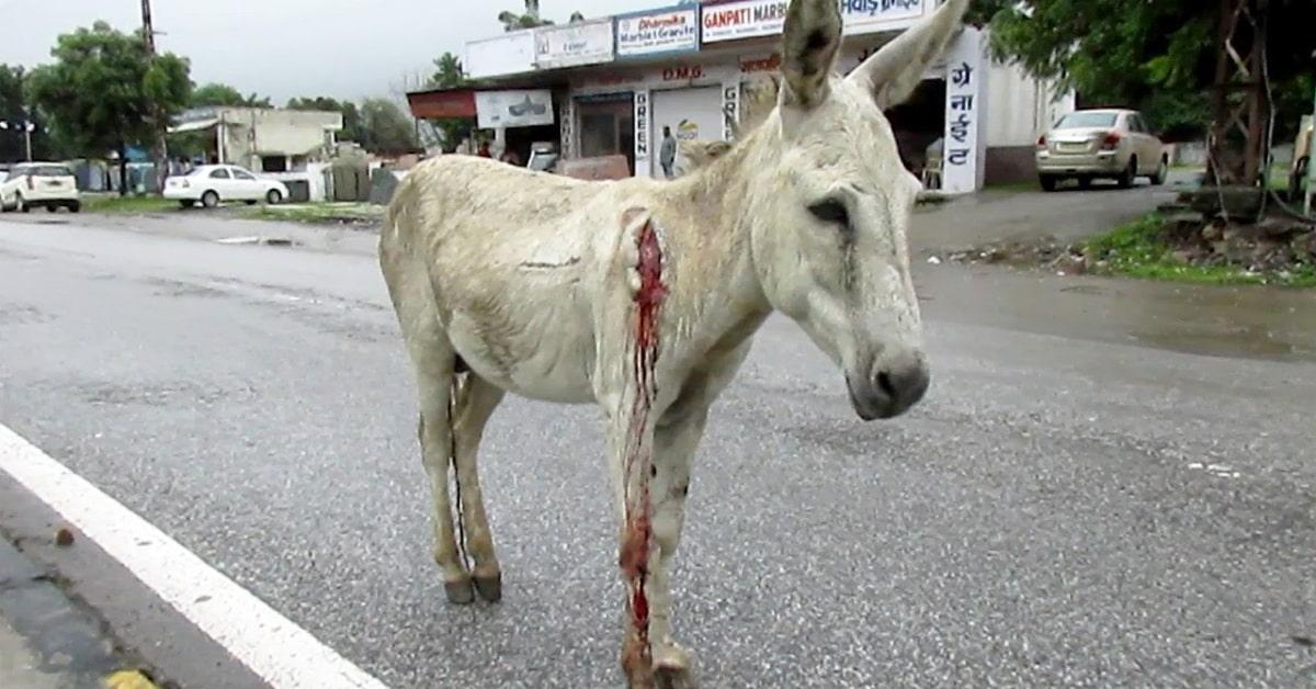 animal blessé